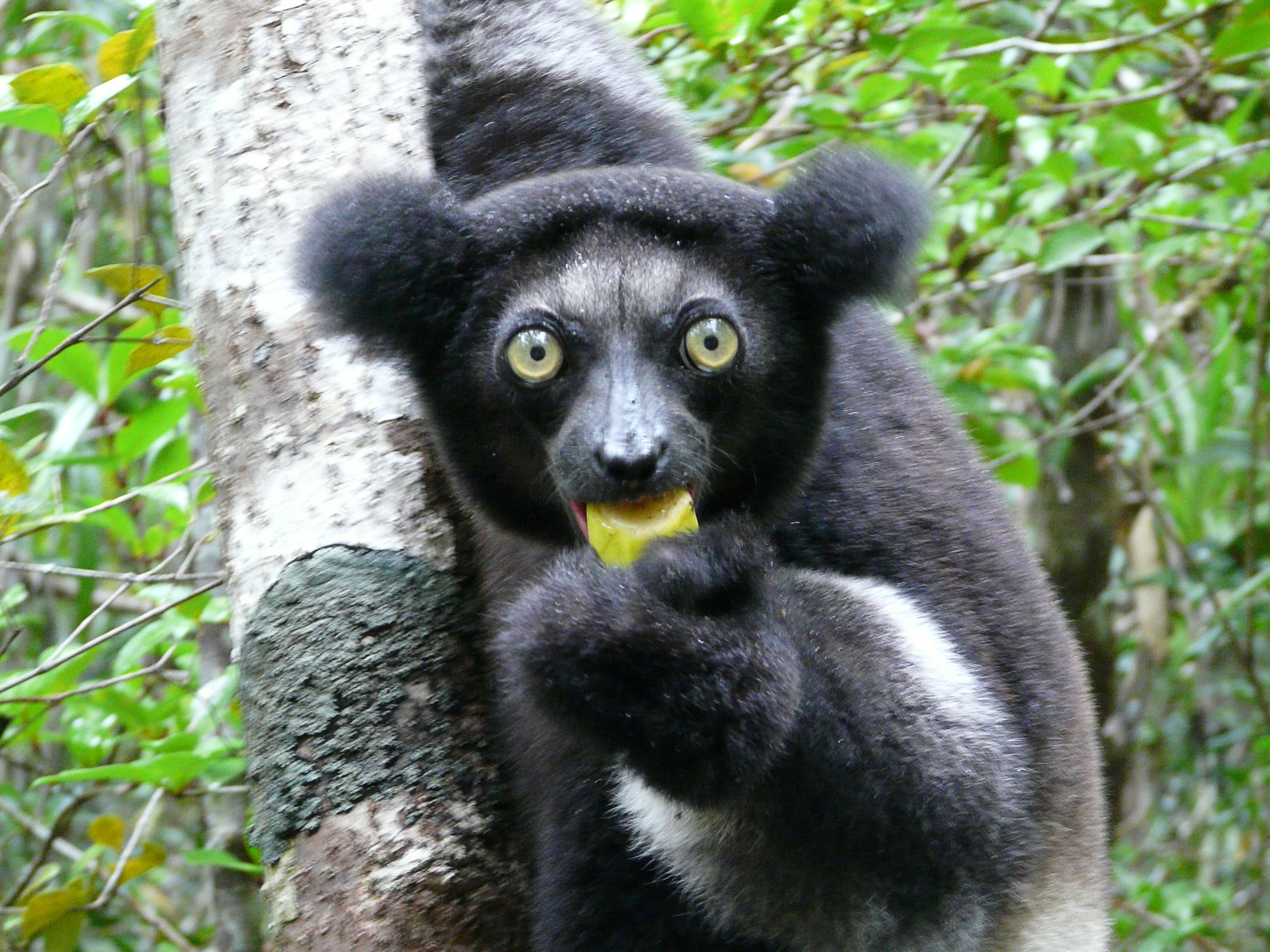 Indri Facts, History, Useful Information and Amazing Pictures