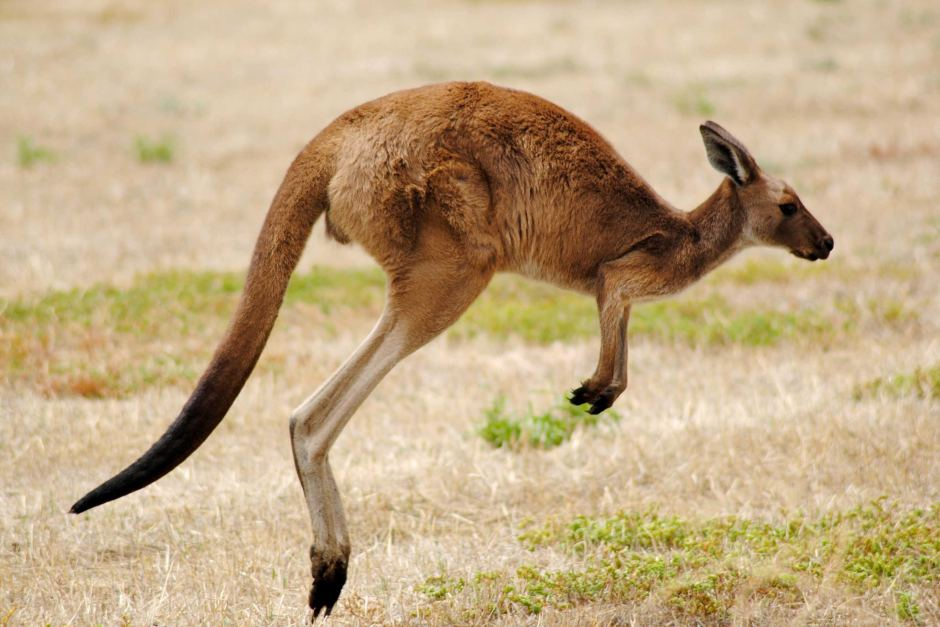 Kangaroo Facts, History, Useful Information and Amazing Pictures