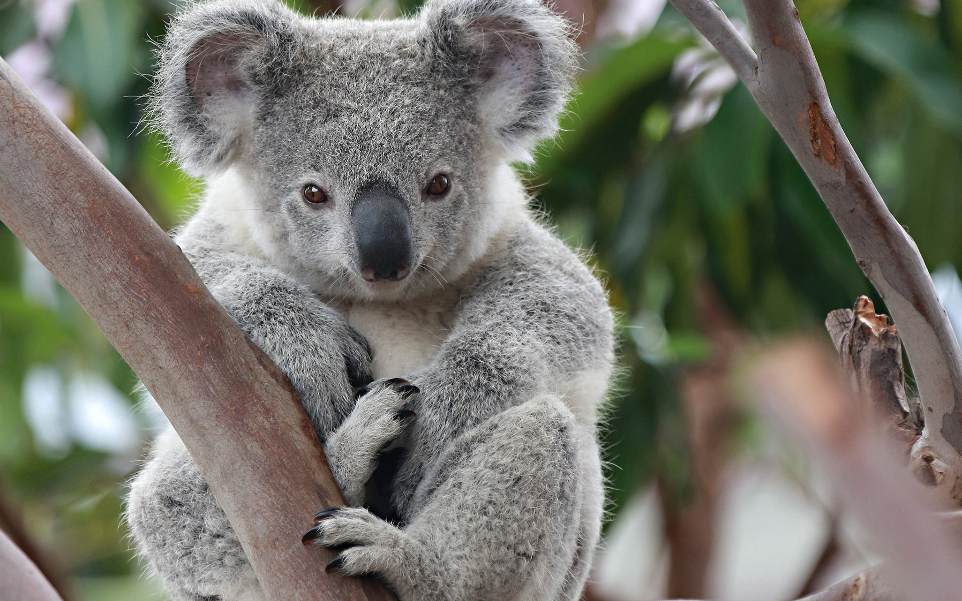 koala facts history useful information and amazing pictures. Black Bedroom Furniture Sets. Home Design Ideas