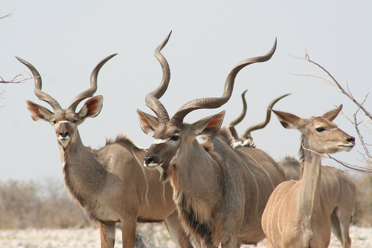 Kudu Facts, History, Useful Information and Amazing Pictures