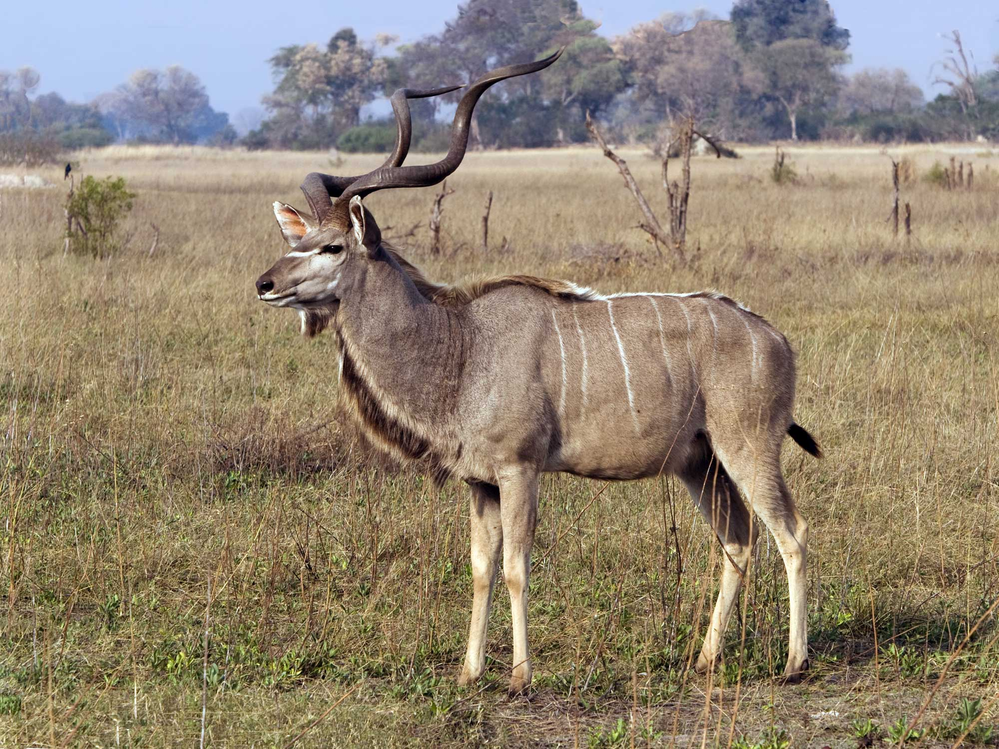 kudu facts history useful information and amazing pictures