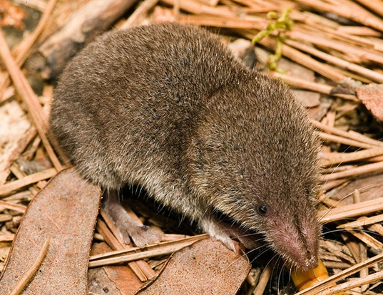 Least Shrew