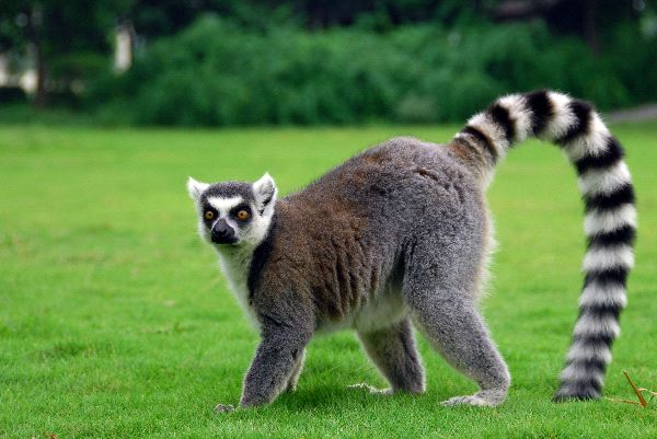 Lemur Facts History Useful Information And Amazing Pictures