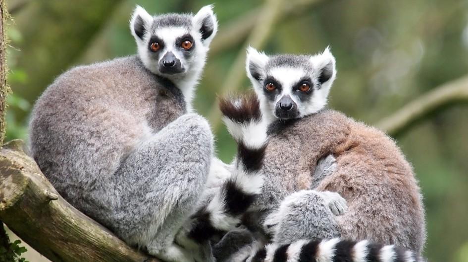 Facts about Lemurs  Lemur Facts and Information