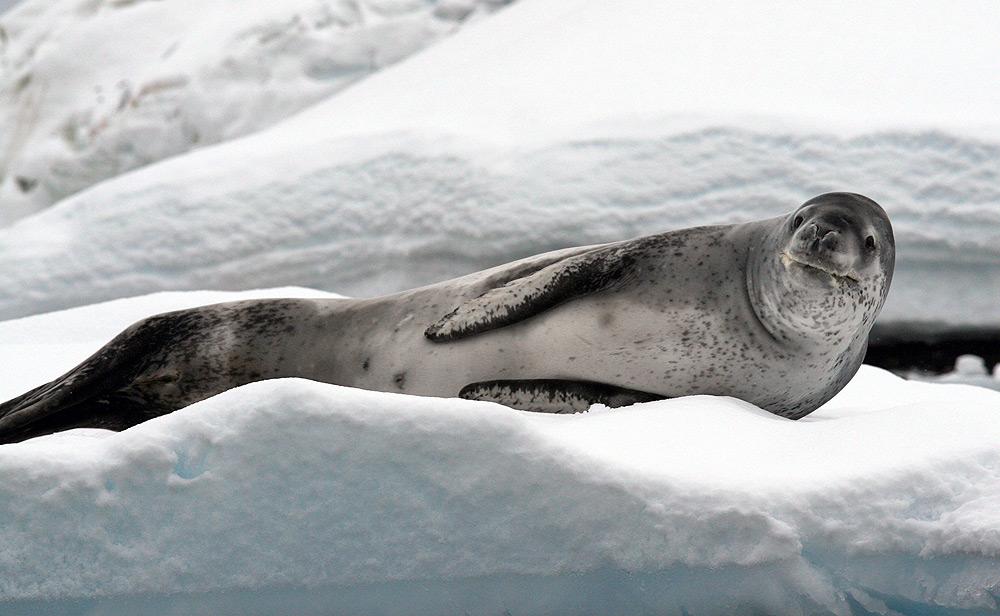 Cute leopard seal