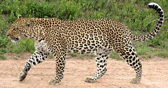 Leopard Facts History Useful Information And Amazing
