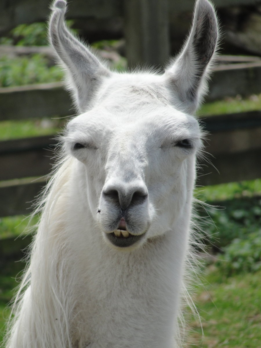 Llama Facts History Useful Information And Amazing Pictures