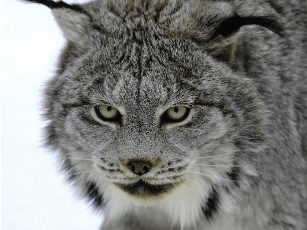 Lynx Facts, History, Useful Information and Amazing Pictures
