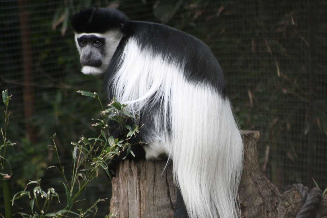 Mantled Guereza