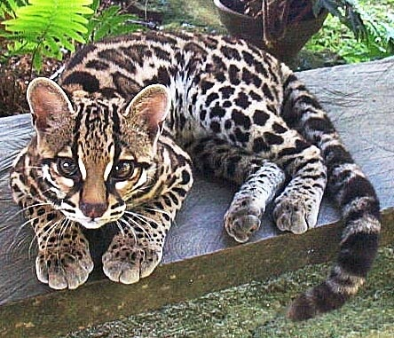 Margay Facts History Useful Information And Amazing Pictures