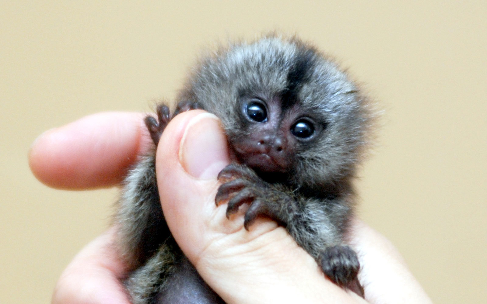 Marmoset on Whale Facts