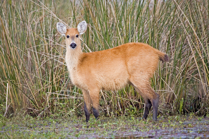 marsh deer facts history useful information and amazing