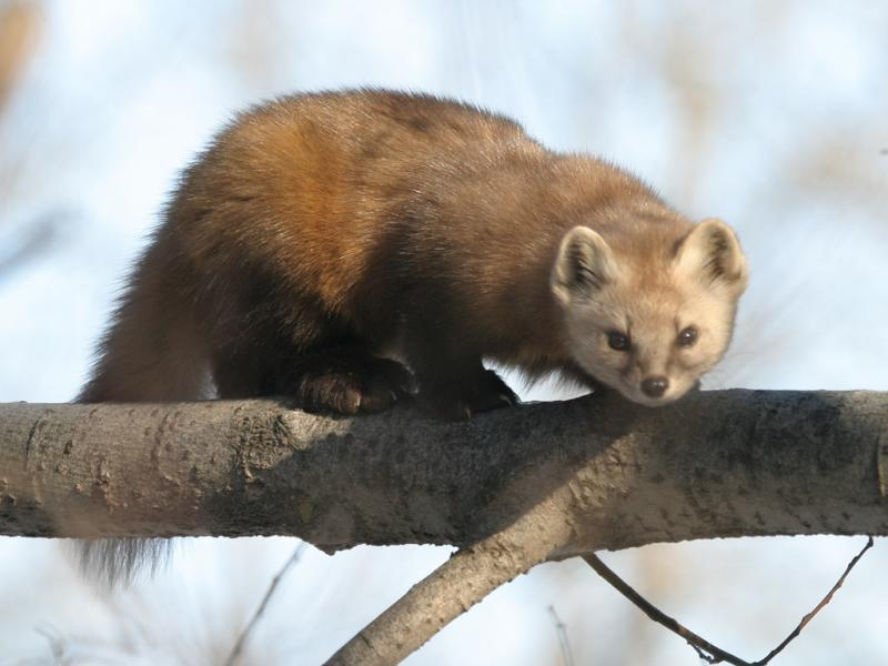 Marten Facts History Useful Information And Amazing Pictures