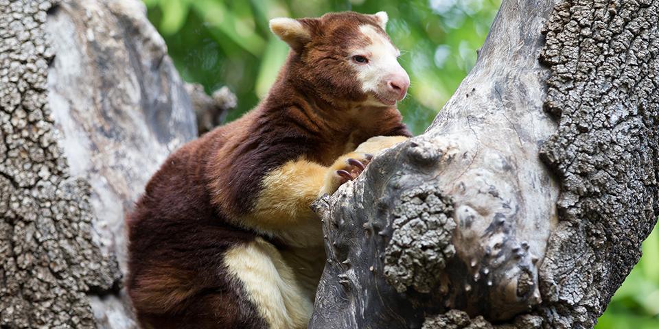 Matschie S Tree Kangaroo Facts History Useful