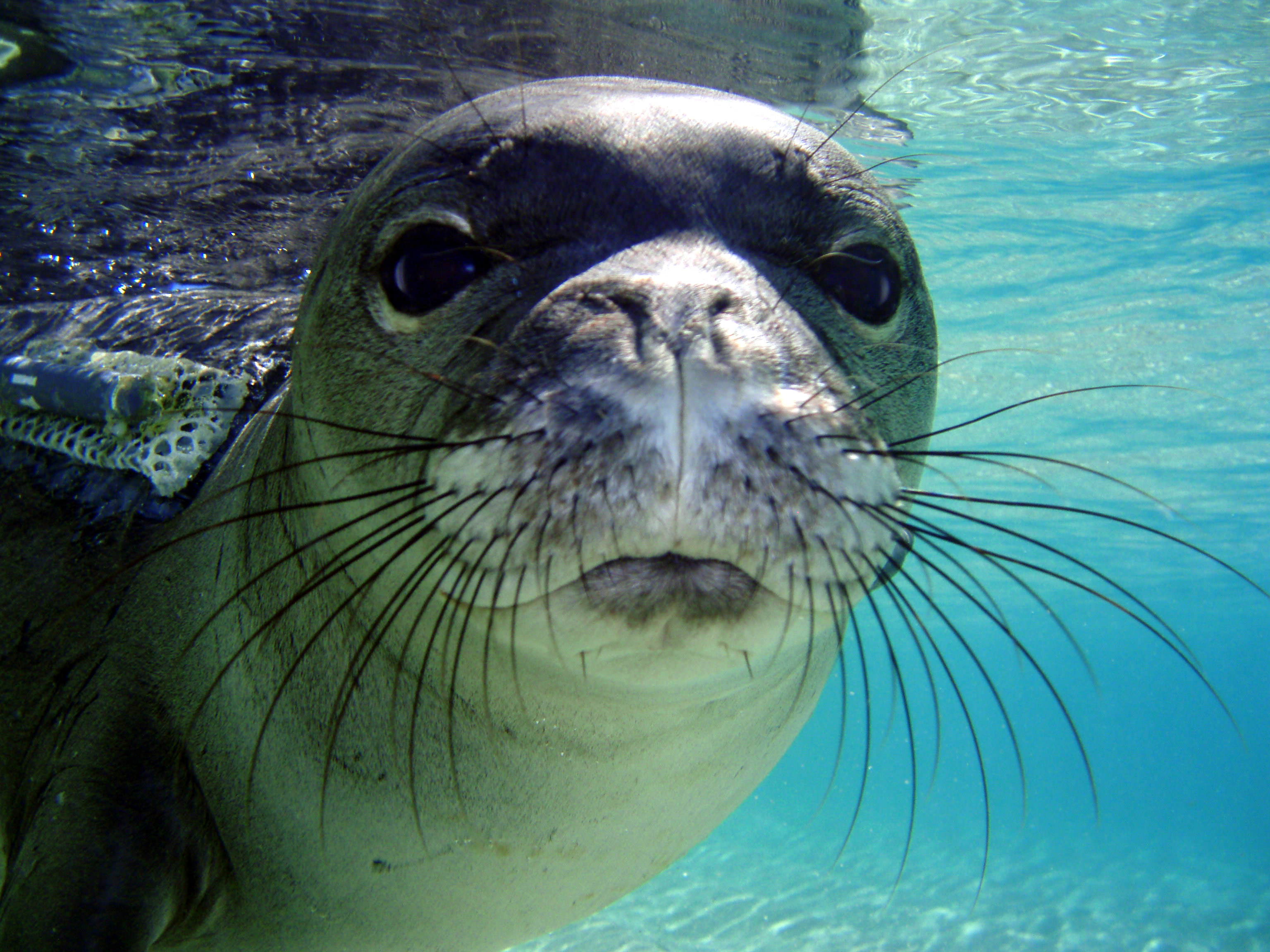 hawaiian monk seal If you're an endangered hawaiian monk seal needing care, could people help  out this kona hospital can - they've got some of the coolest.