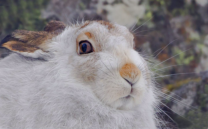 mountain hare facts  history  useful information and amazing pictures