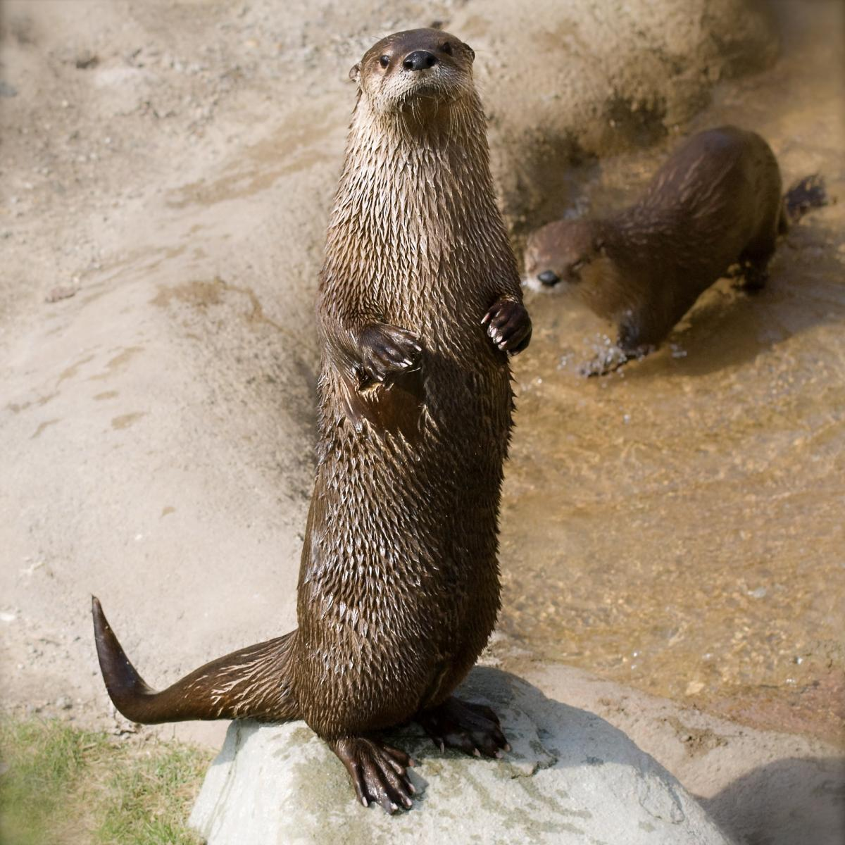 river otter River otters north american river otters (lontra canadensis) were once found across most of north america and in all major waterways of the united states and canada.