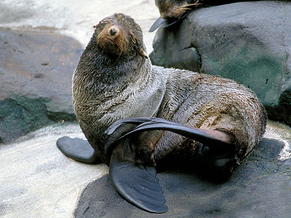 Northern Fur Seal Facts History Useful Information And