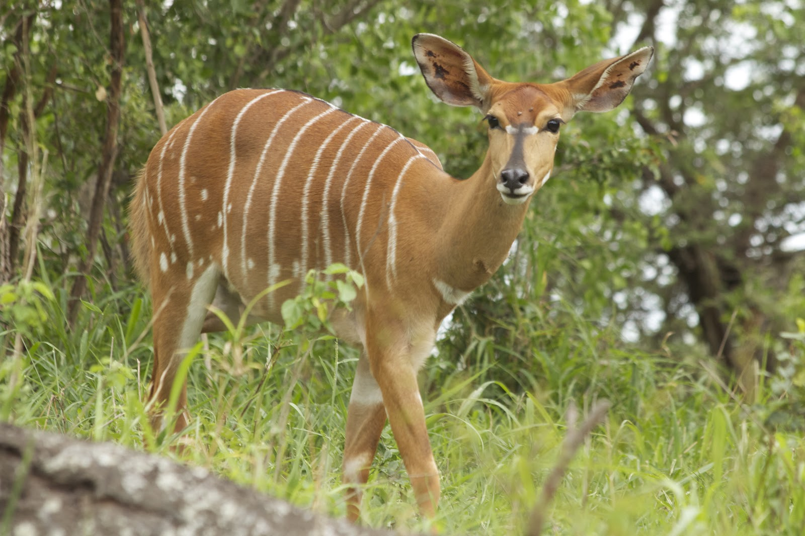 Nyala Facts History Useful Information And Amazing Pictures