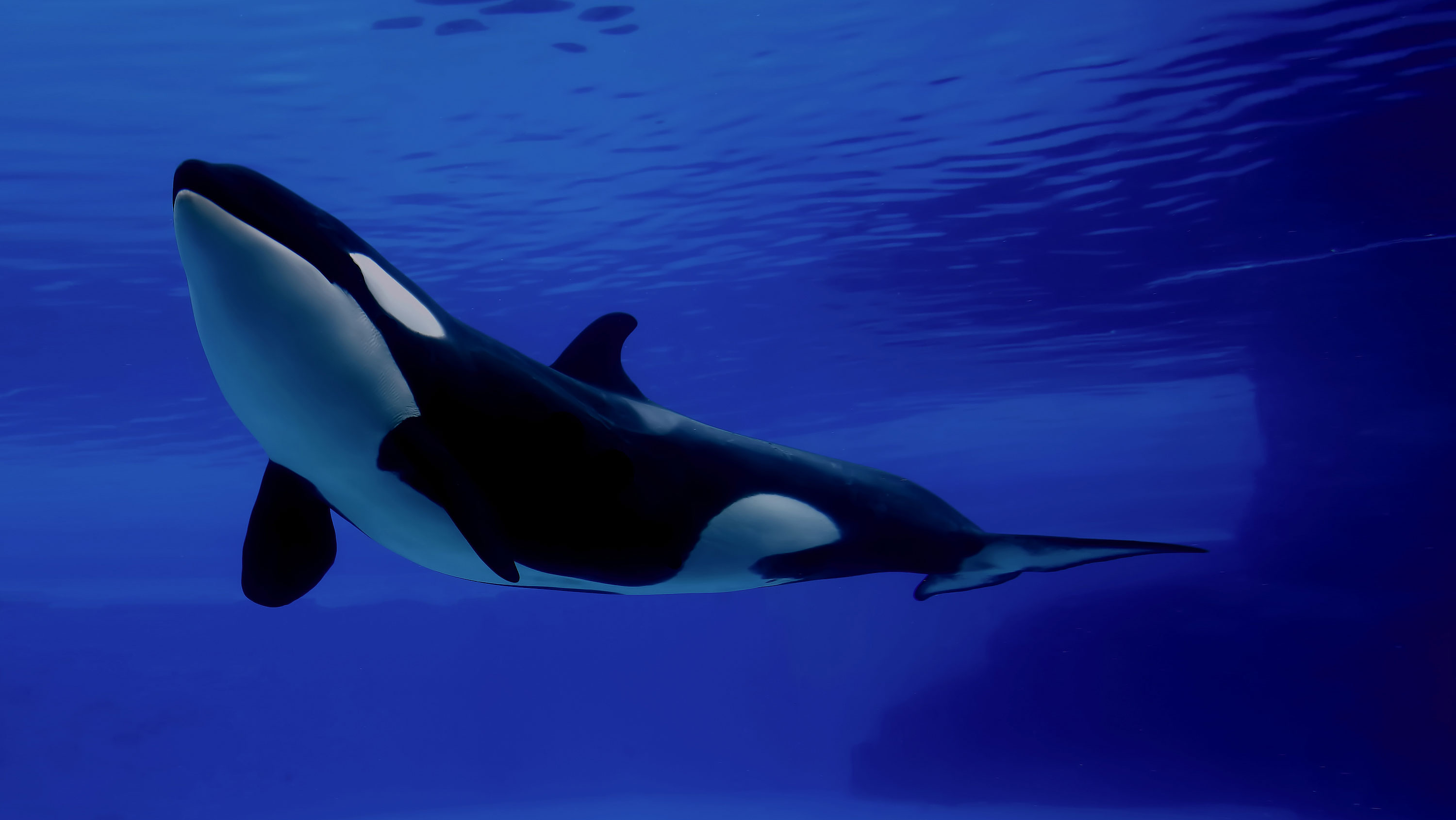 orca facts history useful information and amazing pictures