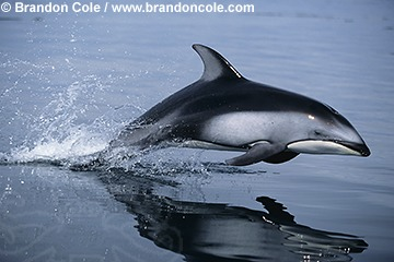 Pacific White-Sided Dolphin Facts, History, Useful ... - photo#15