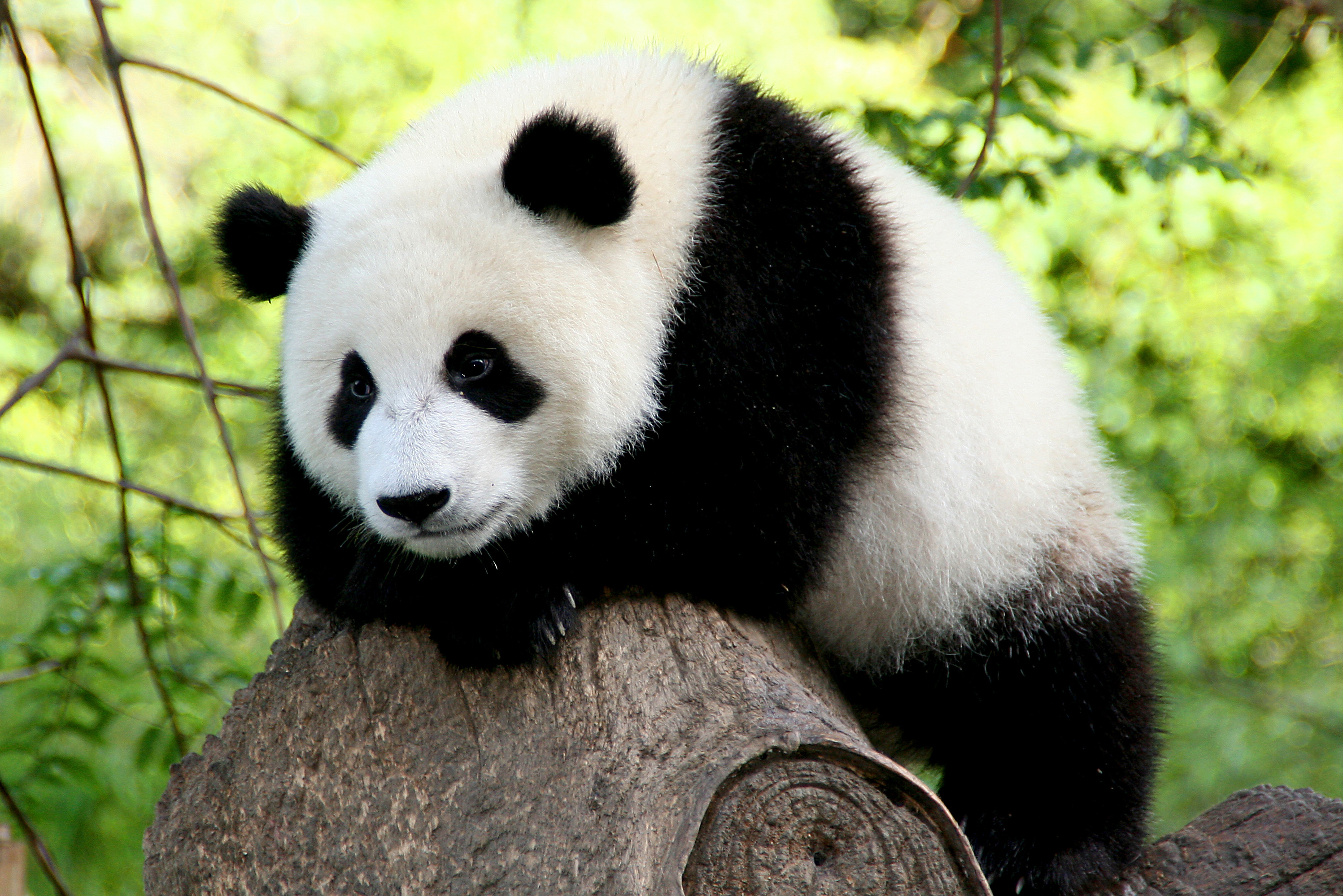 Panda Facts, History, Useful Information and Amazing Pictures