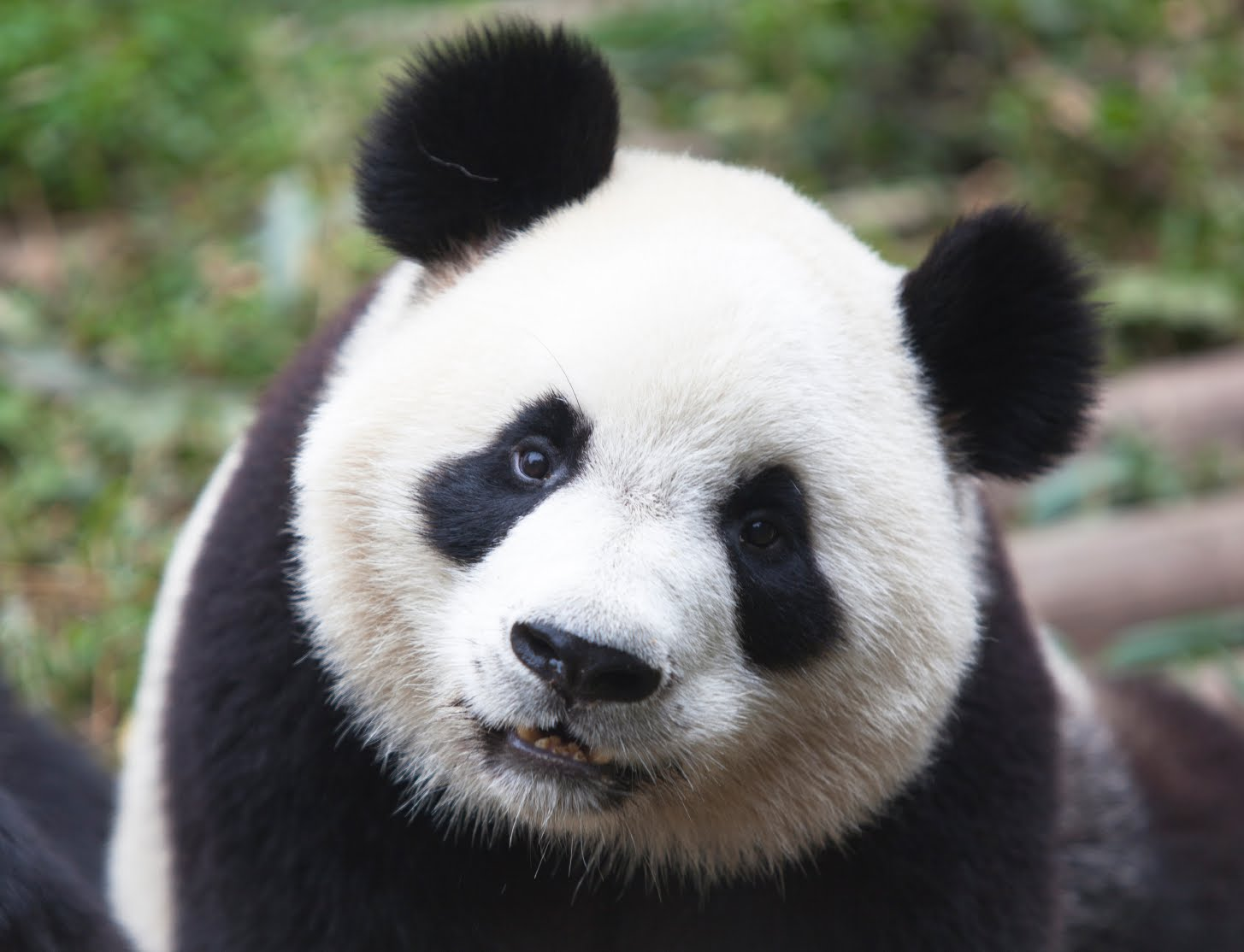 Panda Facts History Useful Information And Amazing Pictures