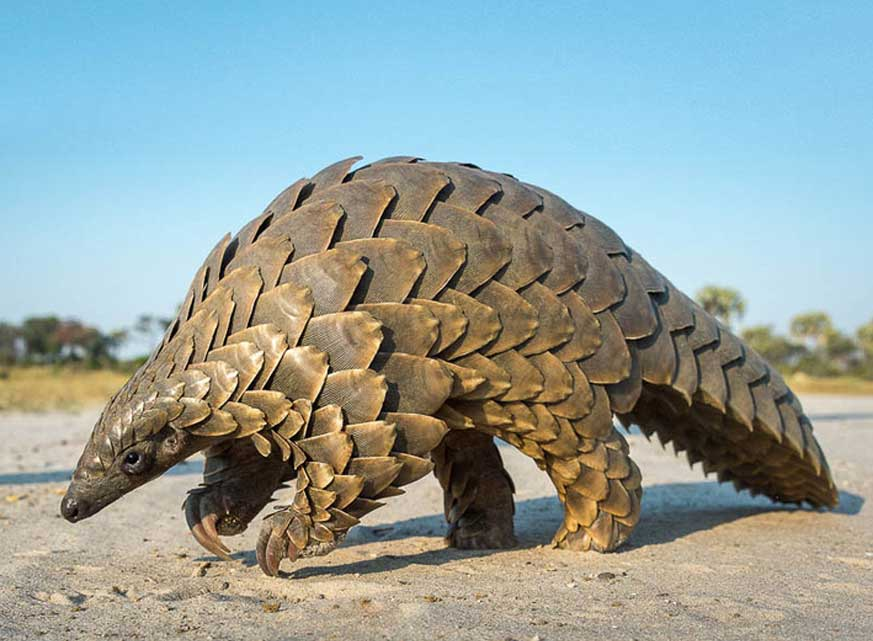 Pangolin Facts, History, Useful Information and Amazing ...