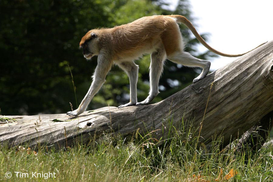 a study on the patas monkey in central africa Patas monkey definition: nouna terrestrial monkey (erythrocebus patas) of central africa, having long legs and a long tailorigin of patas monkeyfrench from wolof pata  patas monkey yourdictionary, nd web.