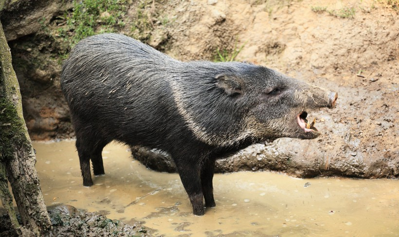 peccary facts history useful information and amazing