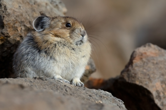 pika facts history useful information and amazing pictures