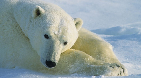 Polar Bear Facts, History, Useful Information and Amazing Pictures
