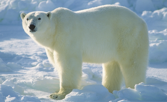 polar bear facts history useful information and amazing pictures