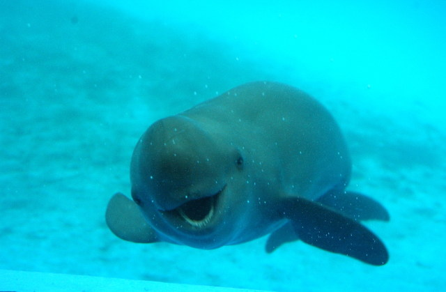Porpoise Facts, History, Useful Information and Amazing ...