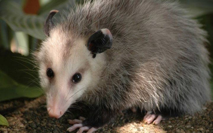 Possum Facts History Useful Information And Amazing Pictures