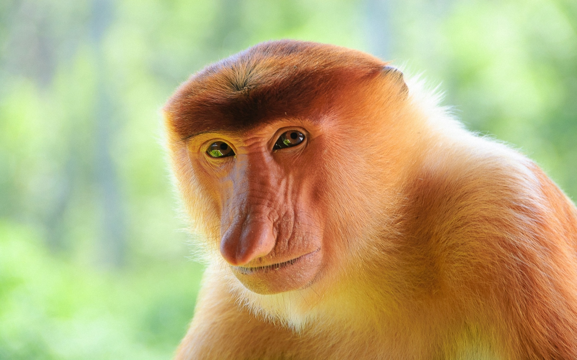 proboscis monkey facts history useful information and