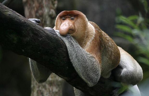 Proboscis Monkey Facts, History, Useful Information and ...