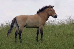 history of the przewalskis horse Przewalski's horse is the closest living wild relative of the domestic horse (equus caballus), and it and the domestic horse are the only equids (genus equus or family equidae) that can crossbreed and produce fertile offspring, although they have different numbers of chromosomes.