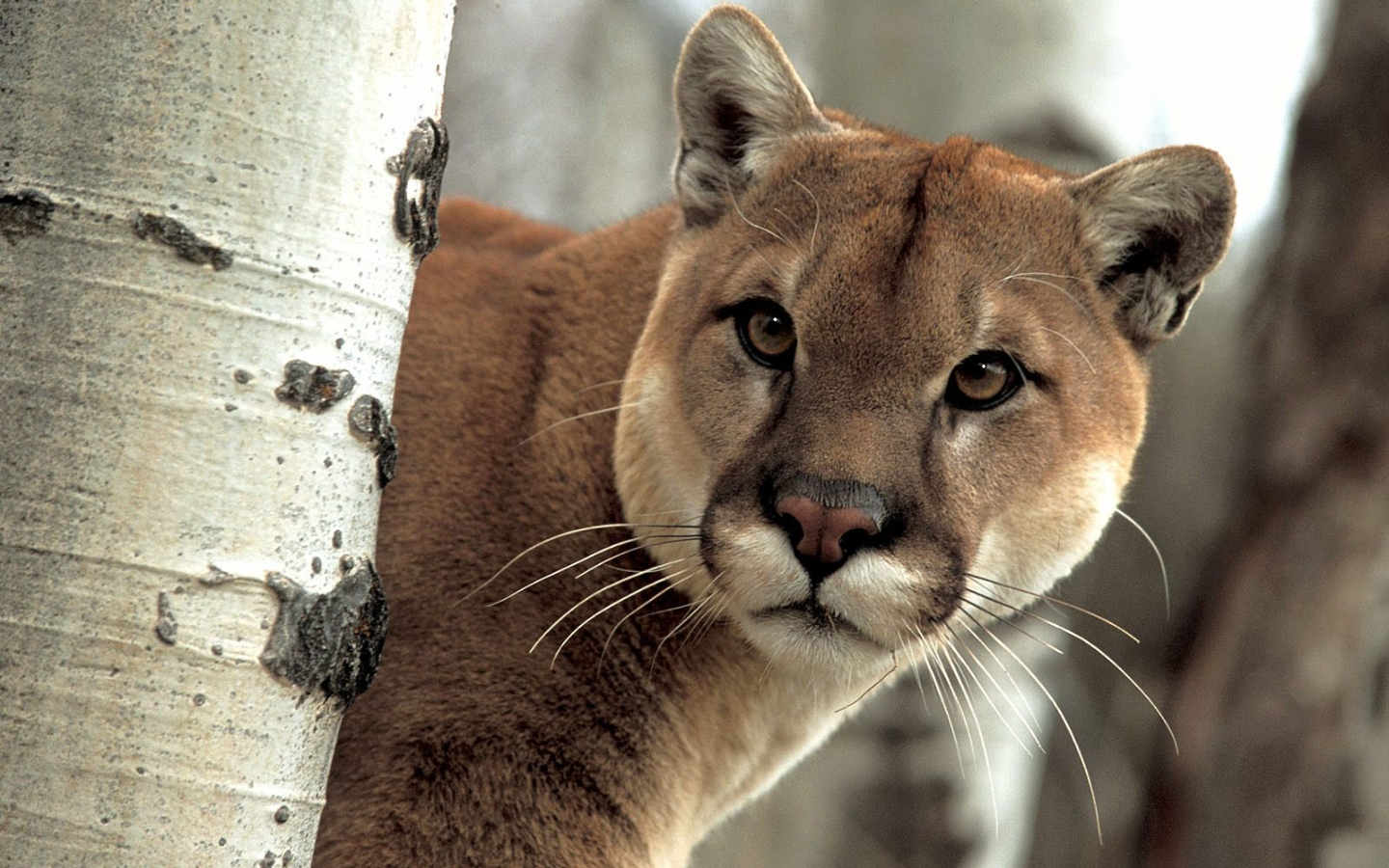 puma facts history useful information and amazing pictures