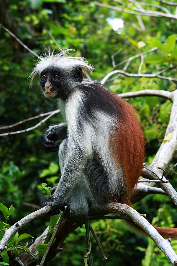 red colobus monkey facts history useful information and