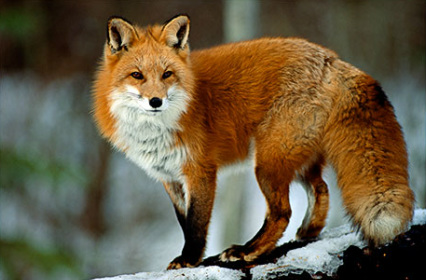 Red Fox Facts, History, Useful Information and Amazing Pictures