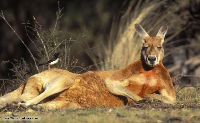 An introduction to the nature of kangaroos