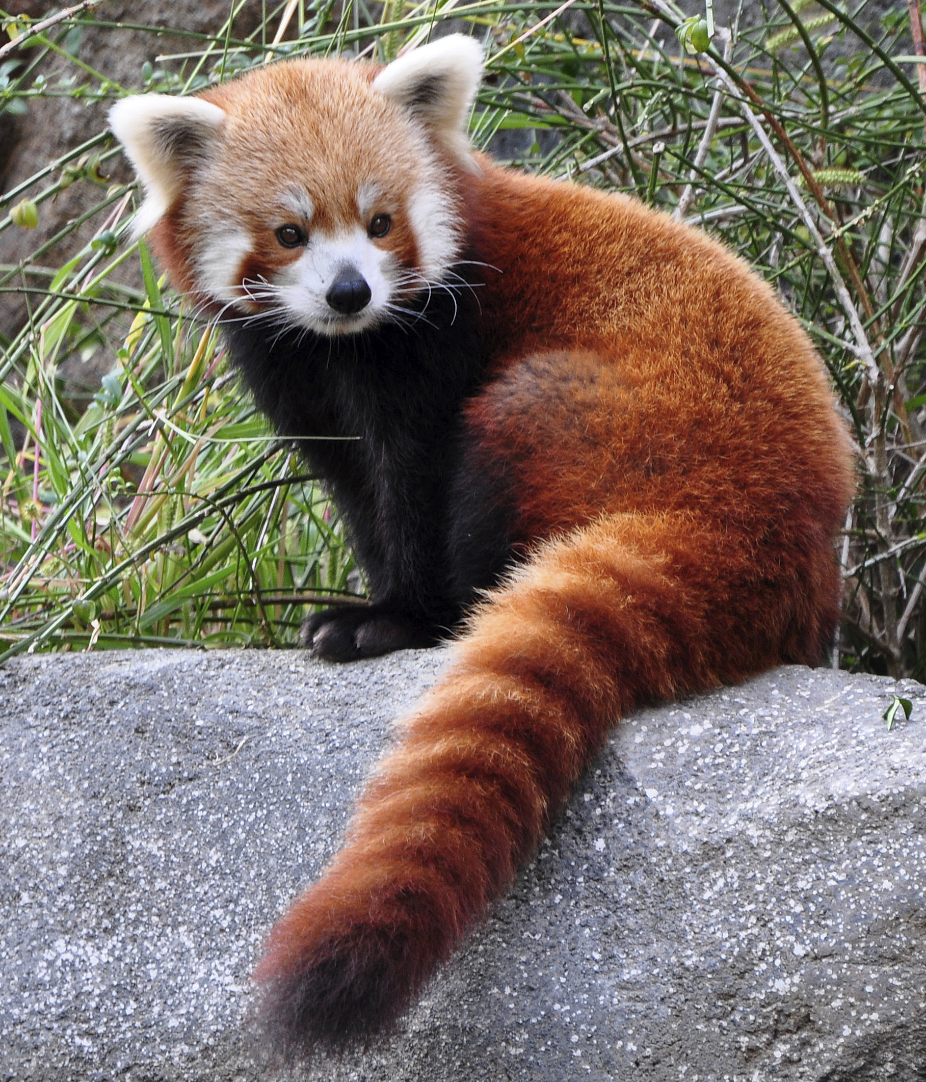 Red Panda Facts, History, Useful Information and Amazing Pictures