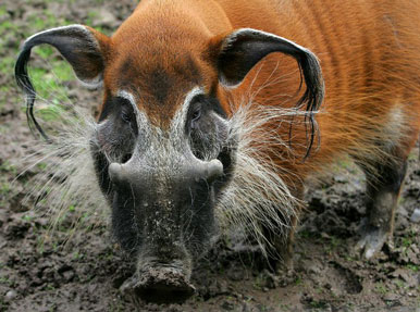 Red River Hog