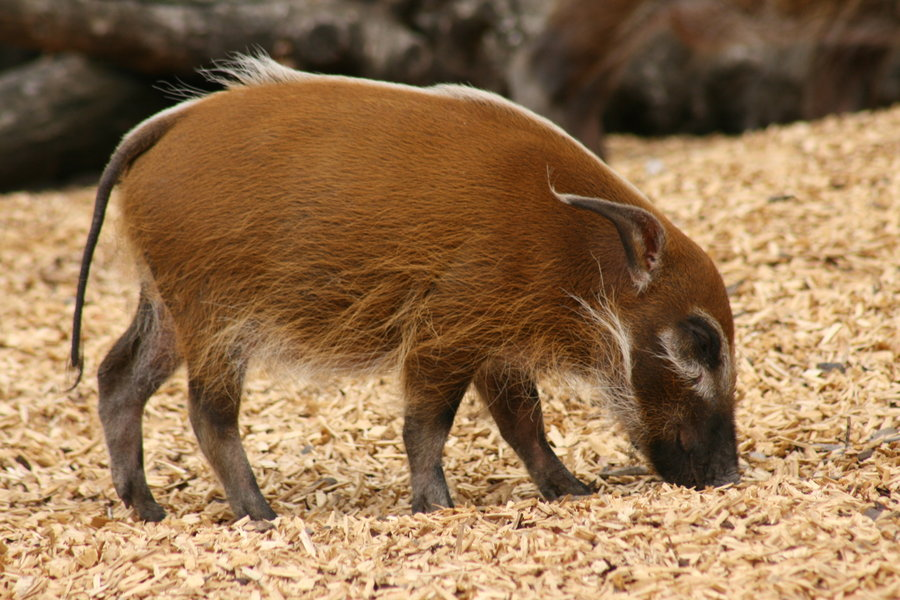 Red River Hog Facts, History, Useful Information and ... Oriental Cat Lifespan