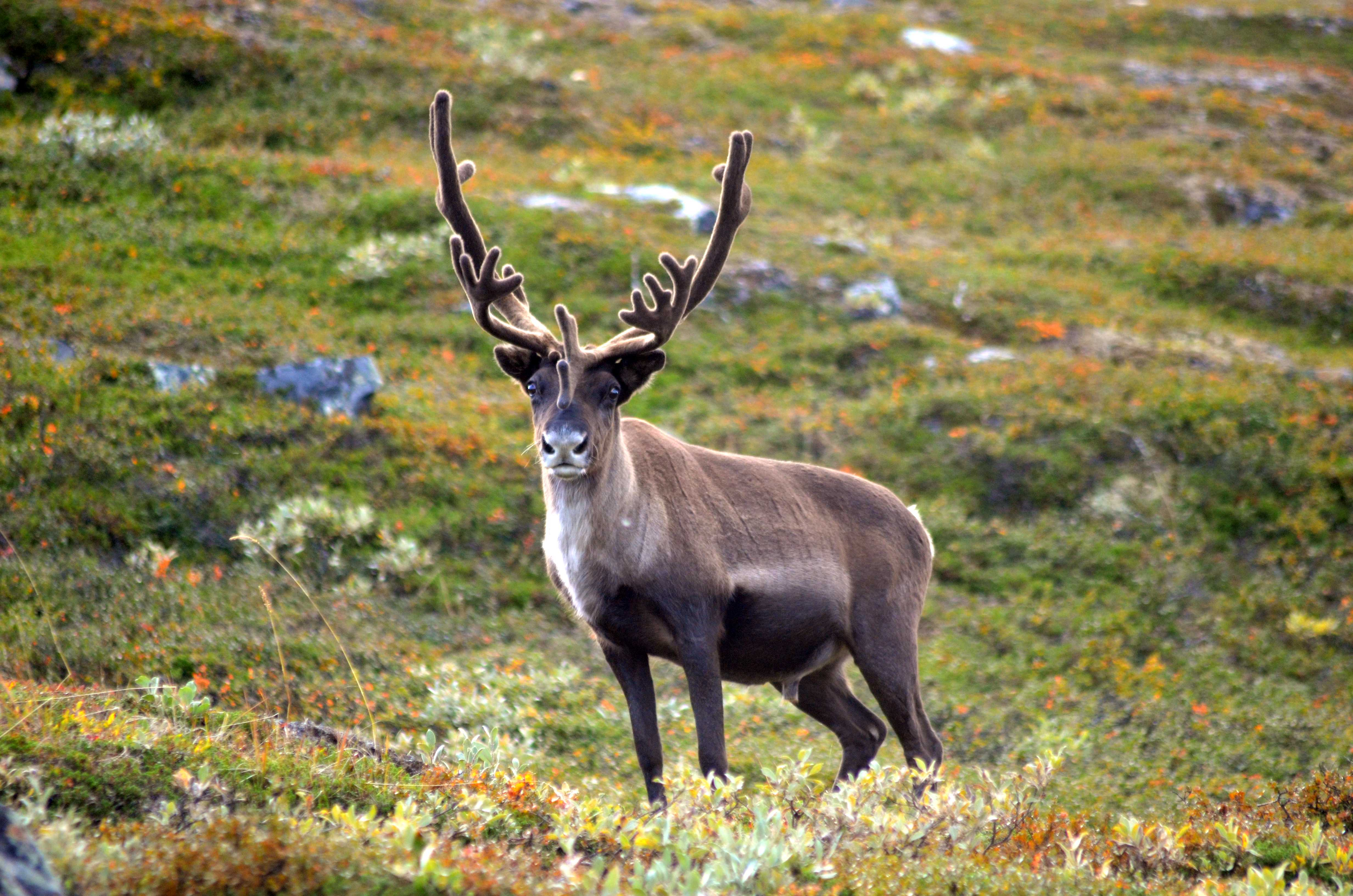 Reindeer Facts History Useful Information And Amazing