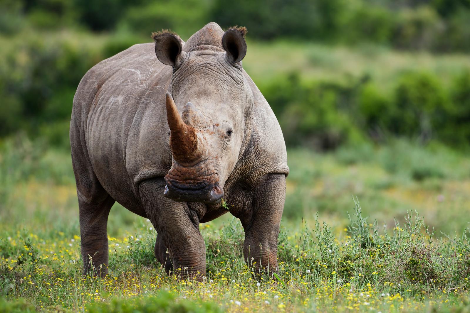 rhino-07.jpg Rhino 07