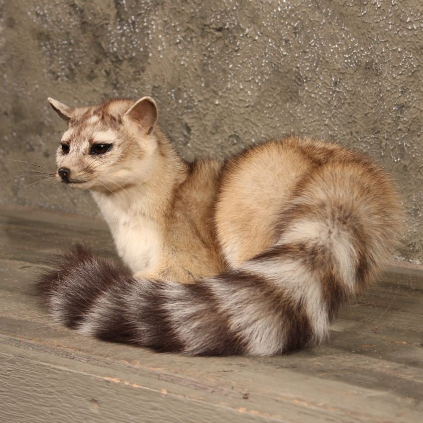 Ring Tailed Domestic Cat