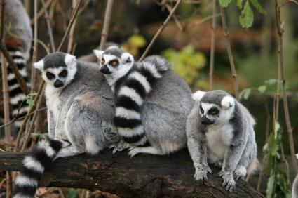 Ring-tailed Lemur Fact...