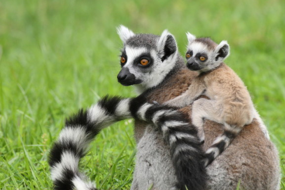 ring tailed lemur facts history useful information and amazing